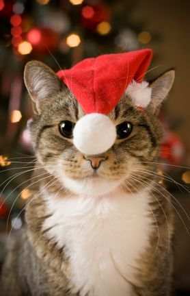 Cat with Santa Claus red hat looking at camera