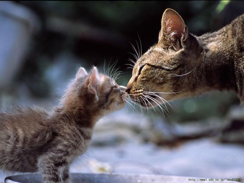 Kitten_Kissing_Mama_b-836480s